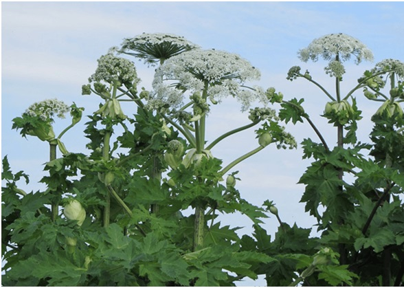 barszcz sosnowskiego, kwiatostany